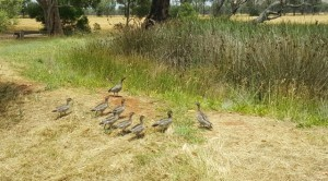 Ducklings Dec2016