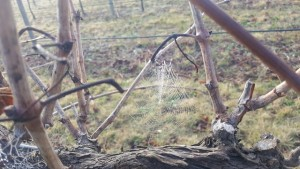 Dormant vines with dewy spider web
