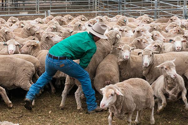 sheep-catch