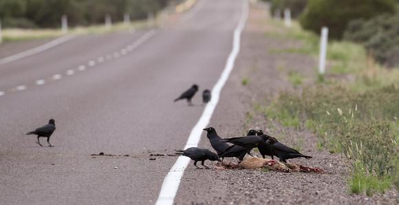crows-roadkill